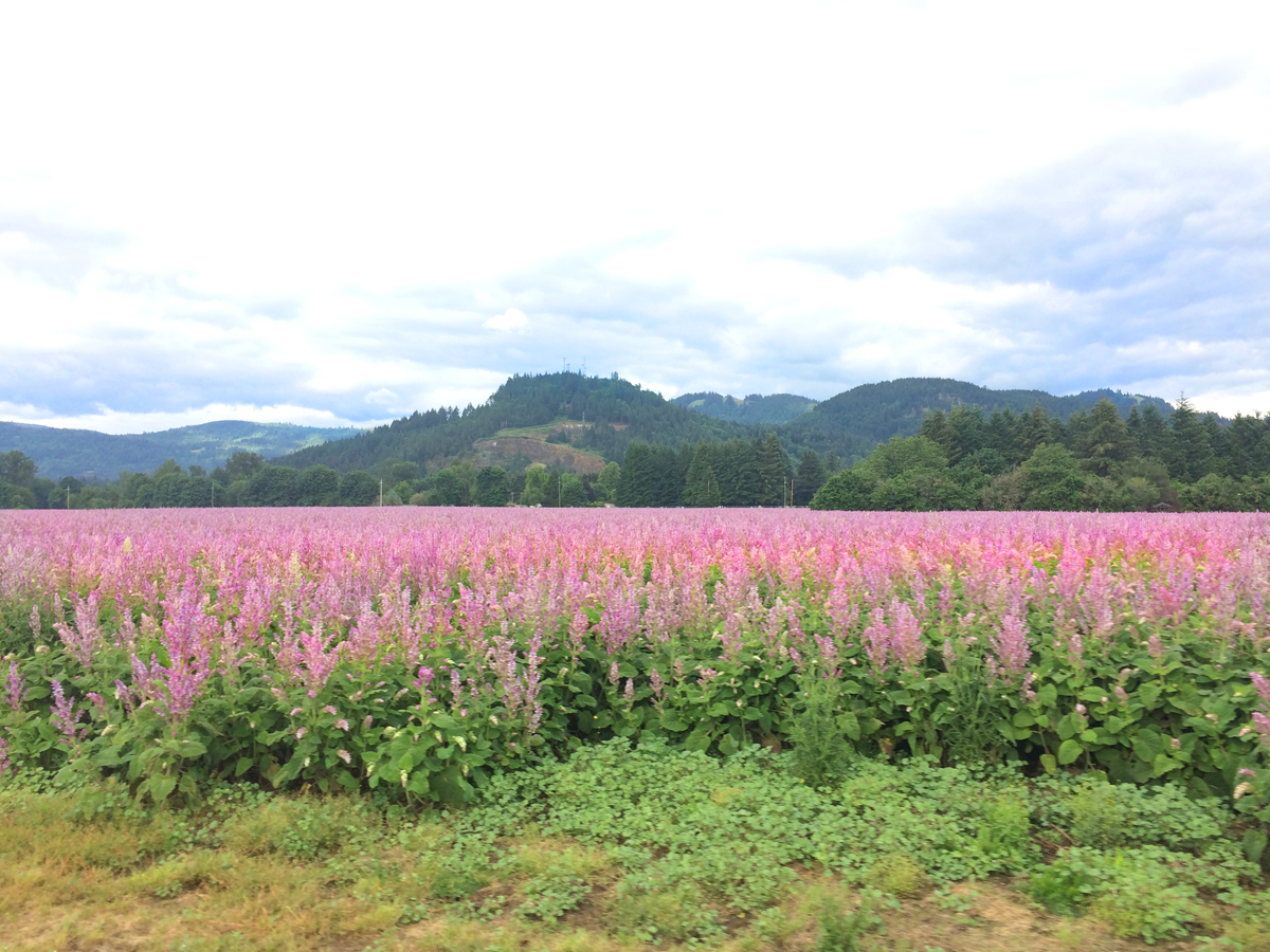 Beautiful field of purple flowers with mountains in the background, near Eugene, Oregon