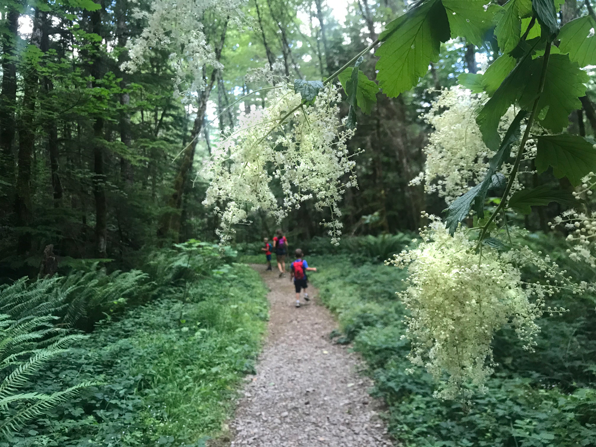 Henline Falls trail is wide and easy at first. Many ferns and wildflowers line the trail.