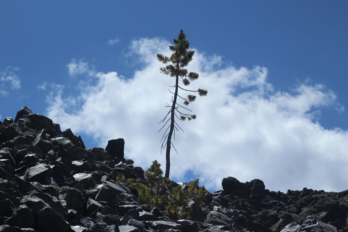 Tree living on Big Obsidian Flow