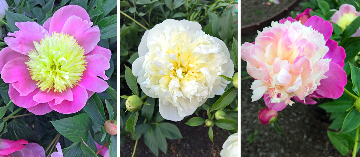 Our own peonies that we purchased from Adelman Peony Garden. Pink, white, and a pink & white flower.