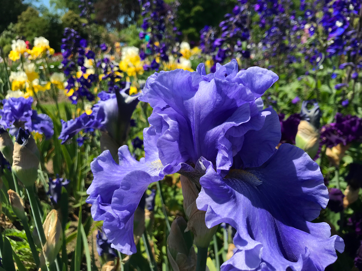 Schreiner's Iris Flower Festival is during May. Purple and yellow irises grow in their display gardens