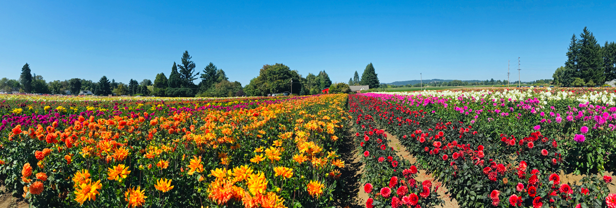 Swan Island Dahlia - flower festivals in Oregon - flower farms in Oregon - rows of brightly colored dahlias as far as they eye can see