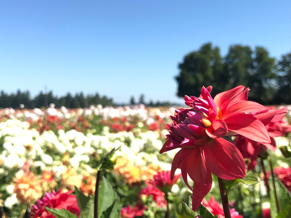 Dahlias at the Swan Island Dahlia farm in Oregon. Flower festivals in Oregon.