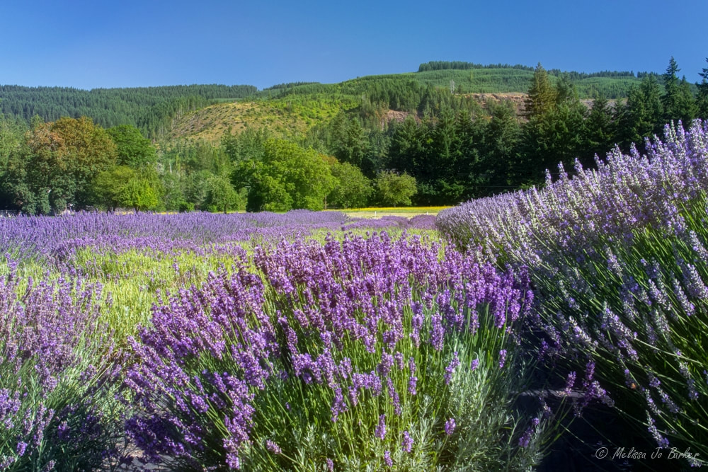 Purple lavender against a hill of green trees. Lavender flower farms in Oregon.