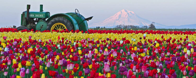 Wooden Shoe Tulip Farm - Tulip Fest - rows of colorful tulips in front of Mt Hood