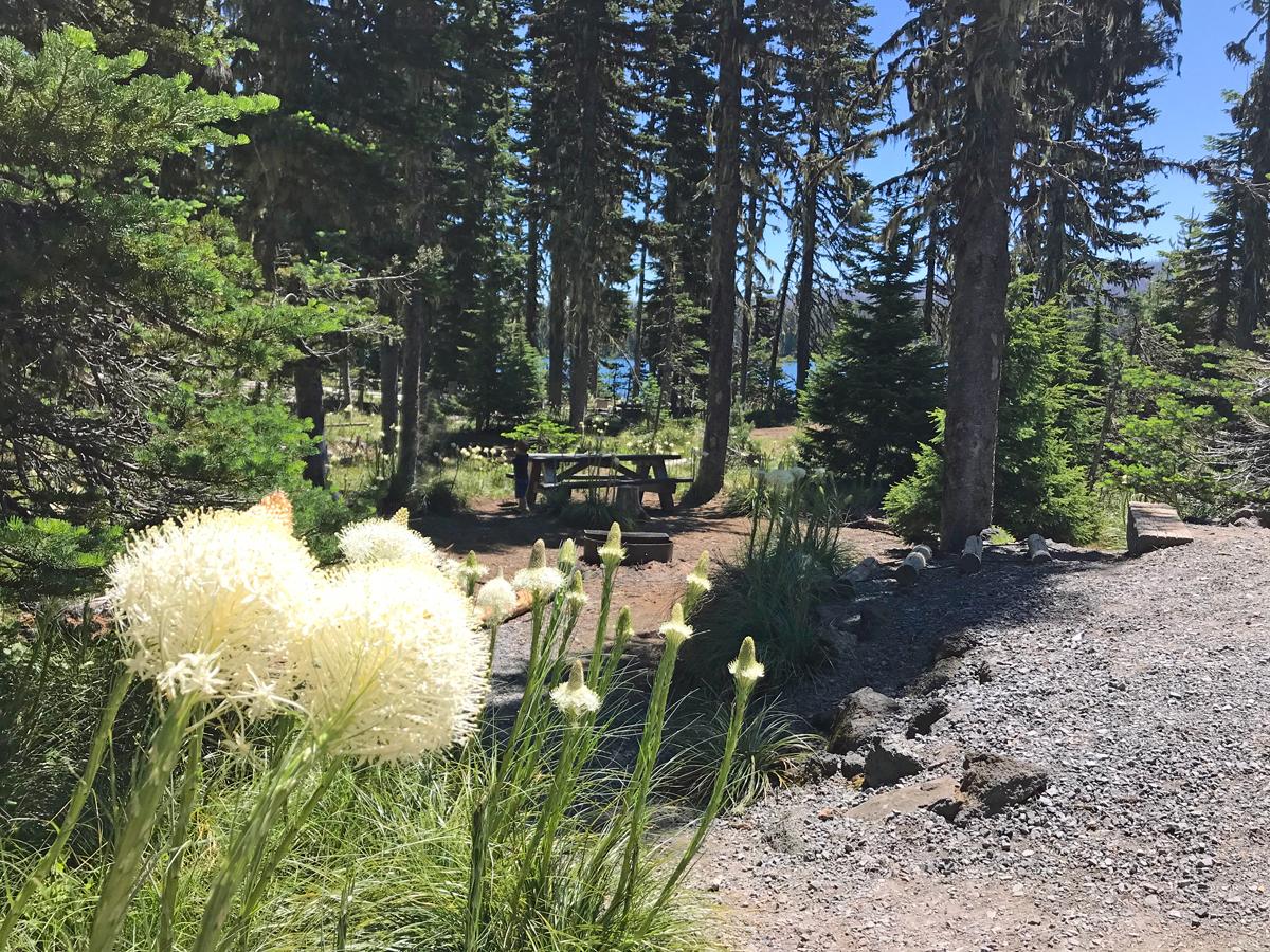 Bear Grass flowers at Big Lake, Oregon
